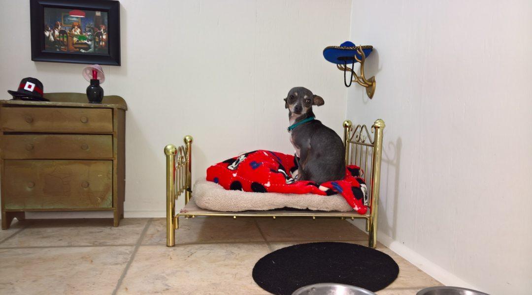 La habitación de este chihuahua le va a dar mucha envidia a tu perro.